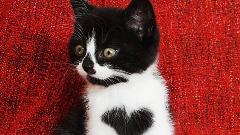 誰還能比我更愛你?胸前有個大愛心的暖心貓Zoe