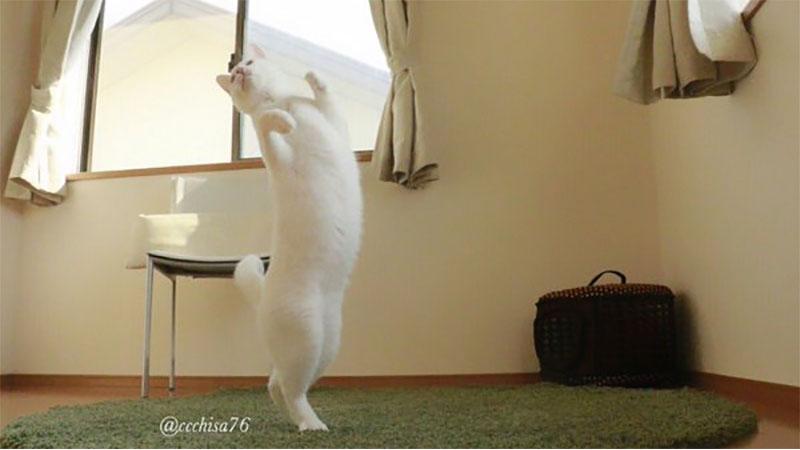 旋轉跳躍我不停歇!「芭蕾舞貓」在家練舞姿態曝光,神優雅身段瞬間走紅!/
