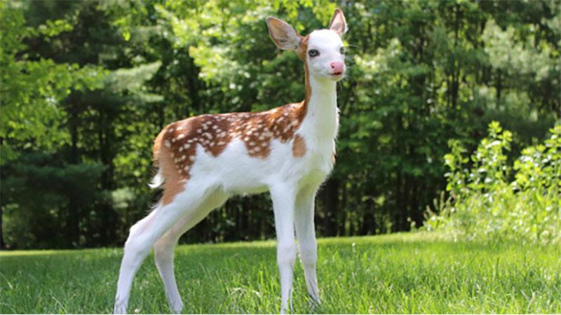 美麗的外表卻有個悲傷的故事!絕美白面鹿Dragon