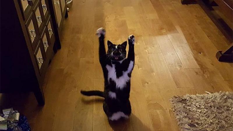 喵喵詭異舉動連主人都無解!日日雙手舉高「投降」