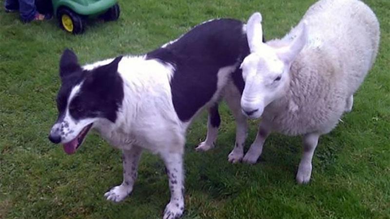 以為自己是的牧羊犬的羊咩咩「Pet」,誰知道走起路來就破功惹.