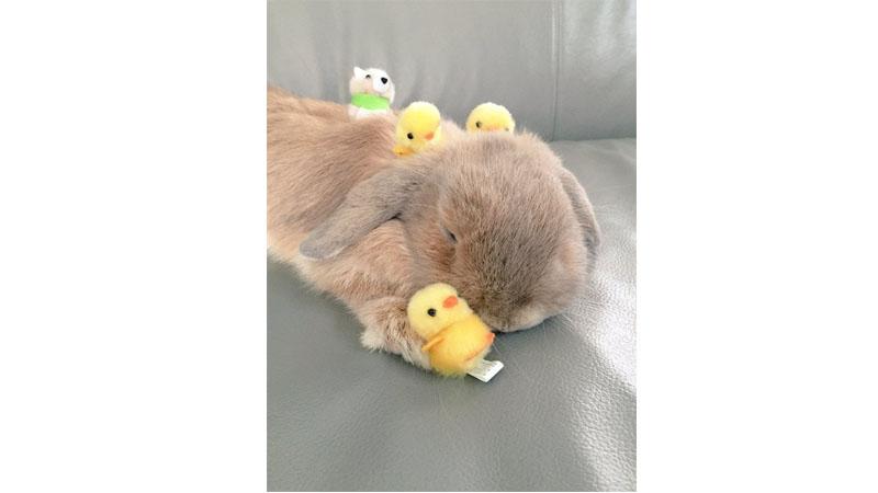 「兔兔與小主人」睡懶覺畫面療癒了我!麻麻我想養