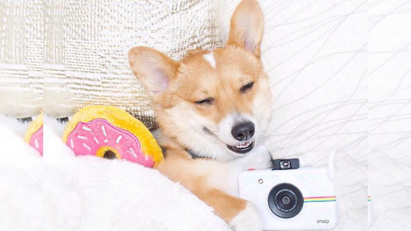 全世界最萌柯基犬就是牠!每天只要看一眼,所有憂鬱心情都不見啦~