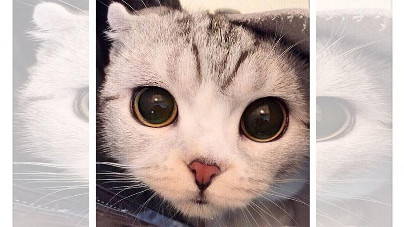 全世界的貓奴都被摺耳貓「hana」萌殺,網友喻為貓界女神!