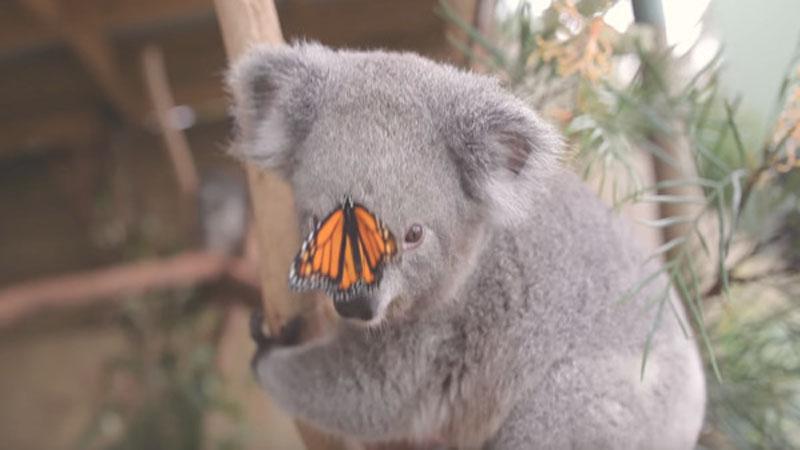 無尾熊抓蝴蝶停在鼻頭! 網友融化:看過最可愛的事
