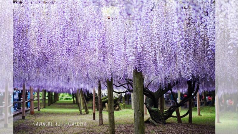 期間限定「河內藤園」!日本九州超夢幻紫藤花隧道,充滿仙氣的漫天粉紫花海令人陶醉!